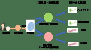 【iPS細胞の樹立~分化誘導のフロー】